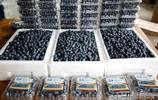 山東聯城:藍莓豐收 農民致富