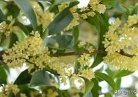 桂花開花時,花香撲鼻,很多人拿桂花來泡酒!桂花又如何扦插呢?