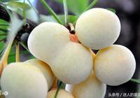 銀杏-白果