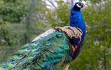孔雀:孔雀的生活習性