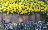 植物圖集:在美麗的三色堇花叢中,蝴蝶翩翩起舞