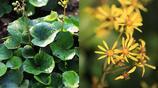 這種植物日本人當菜吃,除蟎蟲抗腫瘤,治感冒咽喉腫痛效果好
