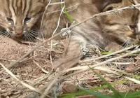 憨態可掬|六盤山林區發現豹貓幼崽