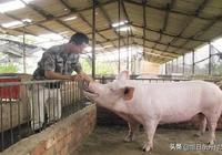 豬價進入到了7月價格有明顯上漲,面對此時的行情,下半年破20元的機會大嗎?