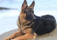 德國牧羊犬拉稀怎麼辦、德國牧羊犬反覆拉肚子怎麼辦