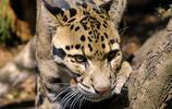 動物圖集:雲豹