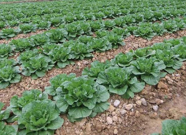 大白菜田間管理技巧,大白菜管理那些肥料不能少?