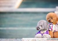 養了泰迪犬之後,生活開始發生鉅變,再也不敢養了!