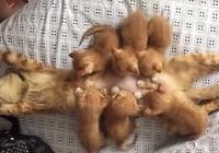 橘貓生了6只寶寶,每次餵奶主人都大笑,貓:感覺身體被掏空了