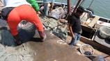 實拍:5個月的禁海後傳統漁民一天的收穫,今年收穫頗豐日賺千元