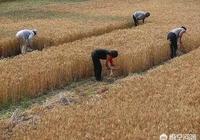 又到了一年的收麥季,遠在他鄉的你回來幫忙嗎?