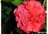 東北能養殖克瑞墨大牡丹花嗎?