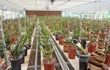 新縣蘭花聞名遐邇,計劃投資2億元,尋找蘭花專家進行了人工種植
