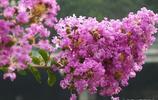 紫薇仙子給你送紫薇花來了 紫薇樹怕癢 用手輕撫枝幹全樹動