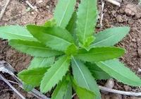 春天挖野菜,你認識刺角芽嗎?怎麼吃?