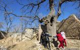 安陽山村這棵千年古樹  有人開價50萬元不賣  看看啥樹這麼值錢