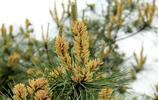 你見過馬尾松的花嗎?你知道它還是一味中藥嗎