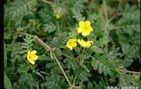 原來地面常見的這種植物是蒺藜,做藥材還可以平肝明目,散風行血