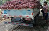 4畝蒜賣了2萬,農村大哥後悔種少了,準備來年多種點