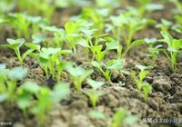 空心菜生長速度快、採收期長,學會這些種植方法一茬一茬割不完!
