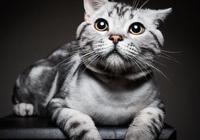 十大受歡迎的貓咪種類,加菲貓、波斯貓、折耳貓等你最喜歡哪種