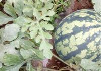 西瓜高產,施肥很關鍵,我們是這樣給西瓜施肥的