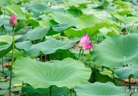 六月的玄武湖,粉了