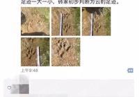 新寧縣發現疑似大型貓科動物-雲豹!