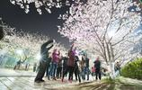 同濟大學櫻花