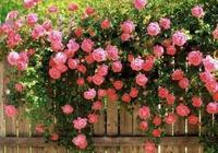 薔薇 發現有蚜蟲 三招輕鬆搞定