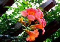 凌霄花的裝飾作用有哪些?凌霄花栽在哪,可以吃嗎