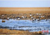 甘肅阿克塞生態不斷好轉 迎來多種鳥類棲息