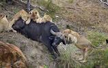 一群獅子圍攻落單水牛,水牛的反擊讓獅子後悔不已