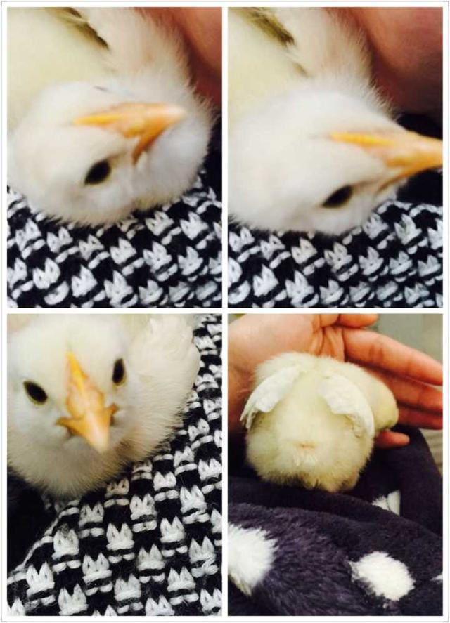 普通雞也可以養成貼心小寵物,分享我與小雞共同成長的日子
