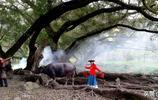 旅遊攝影:夢幻古榕樹,絕美耕作畫