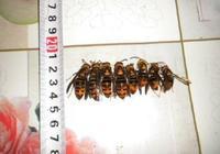 如何辨別胡蜂工蜂,雄蜂,蜂王