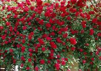 院子內,不要亂種花!此花能開220天,比桂花香,抓緊種2棵!