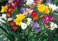 不是蘭花,香似蘭花,但比蘭花好養,種一棵香滿屋,想養死都難!