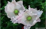 關在鐵籠中的妖豔毒花,雖然美麗但不能自由擁抱春天