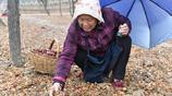 7旬奶奶冒雨撿紅棗,午飯自帶,一天能掙20多元