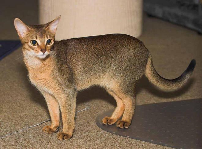 貓中帥哥阿比西尼亞貓