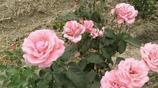 月季要爆盆,學會4點,輕鬆實現,花開100朵,不要太簡單