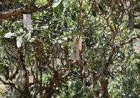 古樹茶和生態茶的區別