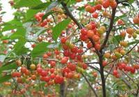 """俗話說""""櫻桃好吃樹難栽"""",學會這些技術,新手也能種出高產櫻桃"""