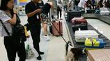 機場來了一隻萌萌的小衛士,它是一隻檢疫犬