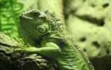 動物圖集:蜥蜴和變色龍