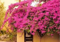 """這""""3種花""""好養又漂亮,花期一年300多天,讓你家變成一個小花園"""