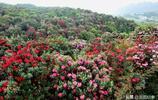 貴州進入花的世界,桃花櫻花杜鵑花韭菜花等你喜歡什麼花