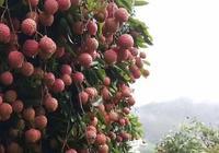 本人在廣東,想做季節性水果,從這邊產地批發荔枝怎樣銷往老家那邊,有什麼好方法?