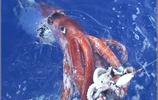 漁民捕到巨型章魚,專家解剖:這是輻射導致基因突變